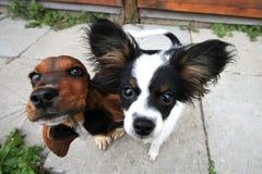 Twee nieuwsgierige honden Stock Foto