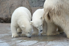 Twee nieuwsgierige ijsberen Royalty-vrije Stock Foto's