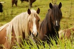 Twee Nieuwsgierige Paarden Stock Afbeeldingen