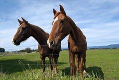 Twee nieuwsgierige paarden in weiland Stock Fotografie