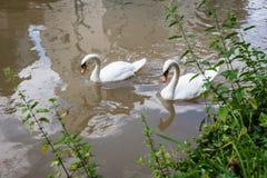 Twee nieuwsgierige zwanen in stadsrivier Royalty-vrije Stock Foto