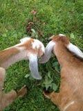 Twee Nubian-geiten het eten royalty-vrije stock afbeeldingen