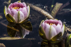 Twee Nymphaea 'Mevr. Richmond' Waterlilies Royalty-vrije Stock Fotografie