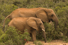 Twee olifanten die door de struik lopen Stock Afbeeldingen