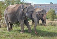 Twee olifanten die in een weide dichtbij het huis lopen Royalty-vrije Stock Afbeelding