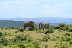 Twee olifanten die elkaar onder ogen zien Royalty-vrije Stock Afbeeldingen