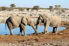 Twee olifanten die hun boomstammen kruisen in Okaukuejo Waterhole Stock Afbeeldingen