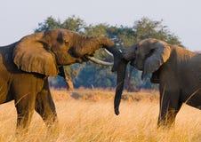 Twee olifanten die met elkaar spelen zambia Lager Zambezi Nationaal Park stock fotografie