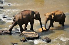 Twee Olifanten in een rivier, Sri Lanka royalty-vrije stock foto