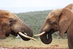 Twee olifanten het drinken Royalty-vrije Stock Foto's