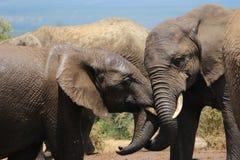 Twee olifanten het spelen Stock Afbeelding