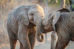 Twee olifanten het spelen Stock Foto