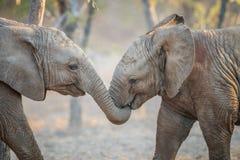 Twee olifanten het spelen Stock Fotografie