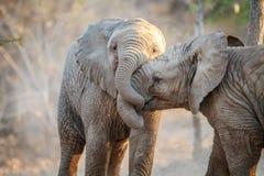 Twee olifanten het spelen Royalty-vrije Stock Afbeelding