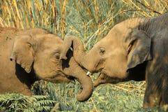 Twee olifanten worden gespeeld met elkaar door boomstammen stock afbeelding