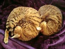 Twee omhoog gekrulde katten van Bengalen Royalty-vrije Stock Fotografie