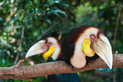 Twee Omhulde Hornbill Stock Afbeeldingen