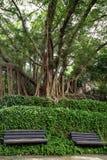 Twee onbezette banken, wijnstokken en grote & oude bomen Stock Afbeelding