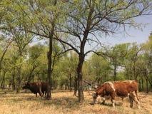Twee ongehaaste weidende koeien royalty-vrije stock afbeelding