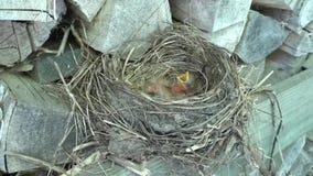 Twee onlangs uitgebroede kramsvogelkuikens die hun bekken voor voedsel openen stock videobeelden