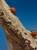 Twee onzelieveheersbeestjes Stock Foto
