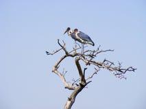 Twee ooievaars die op een dode boom neerstrijken Royalty-vrije Stock Foto