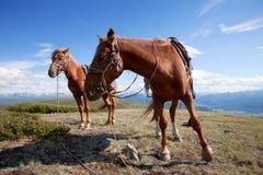 Twee ook gebonden paarden royalty-vrije stock foto