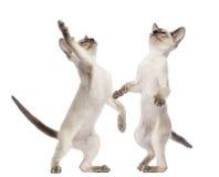 Twee Oosterse Shorthair katjes, 9 weken oud Stock Fotografie