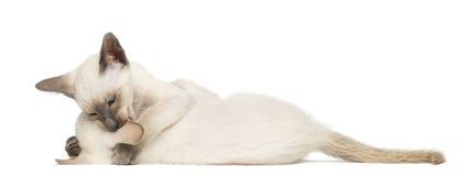 Twee Oosterse Shorthair katjes, 9 weken oud Royalty-vrije Stock Afbeelding