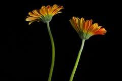 Twee Oranje Bloemen Royalty-vrije Stock Foto's
