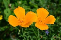 Twee oranje bloemen Stock Afbeelding
