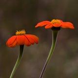 Twee Oranje Mexicaanse Zonnebloemen Stock Afbeeldingen
