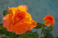 Twee Oranje Rozen Royalty-vrije Stock Afbeeldingen