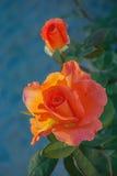 Twee Oranje Rozen Stock Afbeeldingen