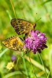 Twee oranje zwarte bevlekte vlinders op de roze bloem Royalty-vrije Stock Foto