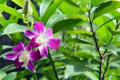 Twee Orchideebloemen Stock Afbeeldingen