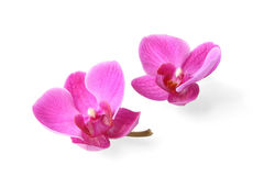 Twee orchideebloemen op witte achtergrond Royalty-vrije Stock Afbeeldingen