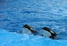 Twee orka's royalty-vrije stock afbeeldingen