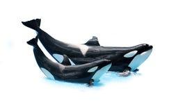 Twee orka's die (orka) begroeten stock foto's