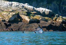 Twee Orka's - Orka's - in Kenai-Fjorden Nationaal Park in Seward Alaska de V.S. stock afbeelding