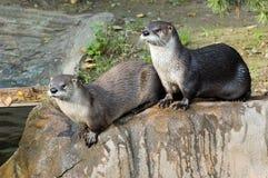 Twee otters Stock Afbeelding
