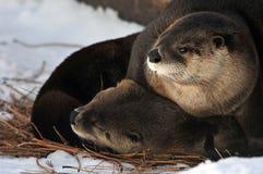 Twee Otters in de Sneeuw Royalty-vrije Stock Fotografie