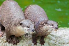 Twee otters staren voor het voedsel Stock Afbeeldingen