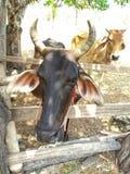 Twee oude en zwakke koeien die hongerig kijken stock fotografie