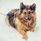 Twee oude Engelse herdershonden die in de winterweide zitten royalty-vrije stock fotografie