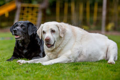 Twee oude labradors die samen liggen Royalty-vrije Stock Foto's
