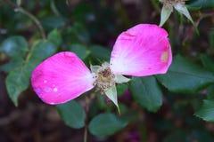 Twee oude roze bloemblaadjes verlaten bij de deze het sterven bloembloei Royalty-vrije Stock Afbeeldingen