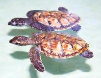 Twee overzeese babyschildpad die in tropisch water zwemt Royalty-vrije Stock Foto's