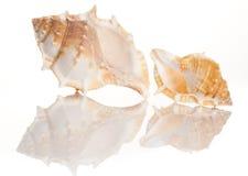 Twee overzeese shells Stock Afbeelding