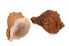 Twee overzeese shells Stock Fotografie